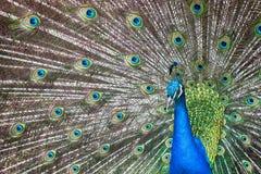 鸟明亮的被遣散的男性孔雀尾标 免版税库存图片