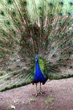 鸟明亮的被遣散的男性孔雀尾标 库存图片