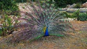 鸟明亮的被遣散的男性孔雀尾标 库存照片