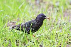 黑鸟是寻找在蠕虫的绿草的椋鸟科 库存图片