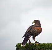 鸟显示猎鹰训练术哈里斯鹰牺牲者 免版税库存图片