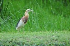 鸟本质上(中国池塘苍鹭) 免版税库存图片
