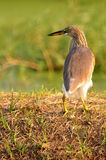 鸟本质上(中国池塘苍鹭) 免版税库存照片