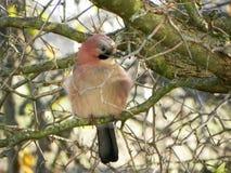鸟杰伊坐分支 美丽的鸟本质上 r 免版税库存图片