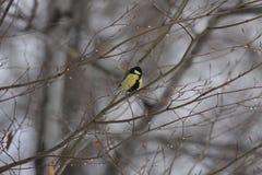 鸟极大的山雀 库存照片
