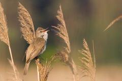 鸟极大的芦苇鸣鸟 库存图片