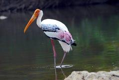 鸟查出迁移被绘的桃红色鹳 免版税库存照片
