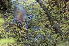 鸟查找了ghats绿色苍鹭印度少见西部 库存图片
