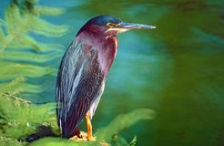 鸟查找了ghats绿色苍鹭印度少见西部 免版税库存照片