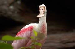 鸟桃红色纵向篦鹭 免版税库存照片