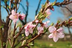鸟樱桃开花的分支  库存照片