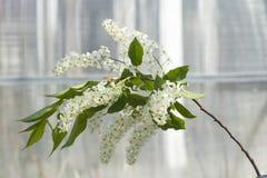 鸟樱桃树开花分支  免版税图库摄影