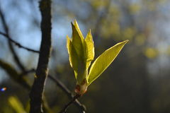 鸟樱桃树的年轻叶子由早期的太阳点燃了在公园 免版税库存照片