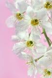 鸟樱桃树 图库摄影