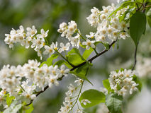 鸟樱桃花在雨以后的 免版税图库摄影