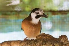鸟欧亚混血人杰伊在笼子的Garrulus glandarius 免版税库存照片