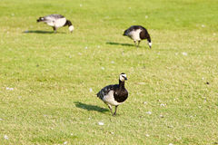 鸟步行在草坪 免版税库存图片