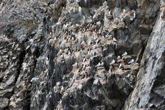 鸟殖民地在北极 免版税库存图片