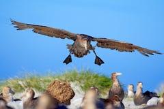 鸟殖民地 在飞行中海燕 巨型海燕,在天空的大海鸟 鸟在自然栖所 从海狮岛的海洋动物, 免版税图库摄影