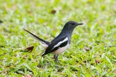 鸟泰国的东方鹊知更鸟或Copsychus saularis鸟 免版税库存照片