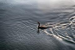 鸟游泳在与重的抽象阴影的水中 免版税库存图片