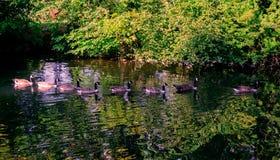 鸟游泳鹅家庭在池塘 库存照片
