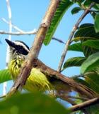 鸟湿在雨以后 (Pitangus sulphuratus) 库存照片