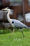 鸟灰色苍鹭 库存图片