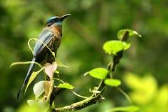 鸟热带的格斯达里加 免版税库存照片