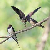 鸟燕子和两只小鸡坐在岸的一个分支 免版税图库摄影