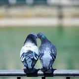 鸟爱 免版税图库摄影