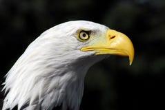 鸟特写镜头头被射击一只美丽的白头鹰 免版税图库摄影