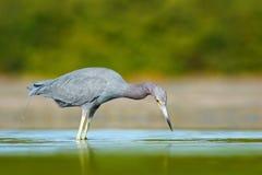 鸟狩猎在水中 小的蓝色苍鹭,白鹭属caerulea,在水中,墨西哥 鸟在美丽的绿河水中 Wil 库存图片