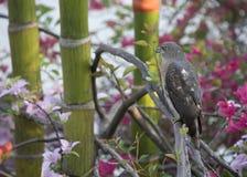 鸟猎人shikra 免版税库存图片