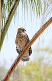 鸟猎鹰鹰被培训的狩猎牺牲者 库存图片
