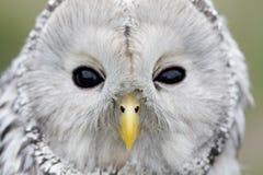 鸟猫头鹰猫头鹰类ural uralensis世界 免版税库存图片