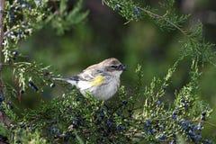 鸟用在额嘴的莓果 免版税库存照片