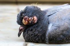 鸟病残眼睛 免版税图库摄影
