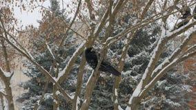 鸟白嘴鸦坐分支,从天空的雪漂泊 股票视频