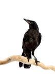 鸟白嘴鸦 免版税库存图片