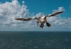 鸟白色鸬鹚在天空中 免版税库存照片