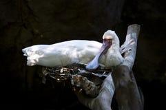 鸟白色 免版税库存图片