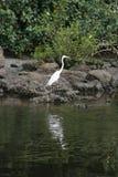 鸟白鹭巨大岩石身分 库存照片