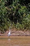 鸟白鹭极大的死水 库存照片