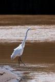 鸟白鹭极大的死水 图库摄影