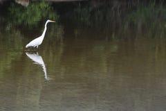鸟白鹭极大的走的水 免版税图库摄影