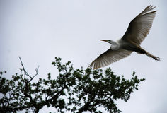 鸟白鹭飞行 库存照片