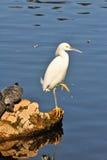 鸟白鹭 免版税库存图片