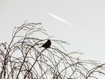鸟的剪影坐桦树反对天空 图库摄影