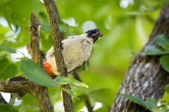 鸟的图象在一个分支的在自然背景 图库摄影
